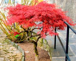 Acer-palmatum.jpg