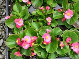 Begonia-semperflorens.jpg