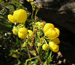 Calceolaria-sp.jpg