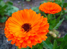 Calendula-officinalis.jpg
