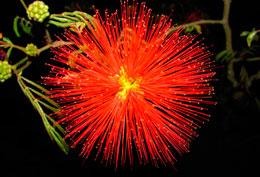 Calliandra-twedii.jpg