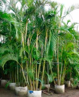 Chrysalidocarpus-lutescens.jpg