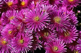 Mesembryanthemum-sp.jpg