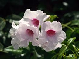 Pandorea-jasminoides.jpg
