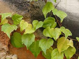 Parthenocissus-tricuspidata.jpg