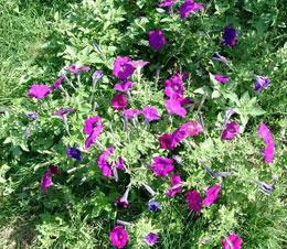 Petunia-spp.jpg