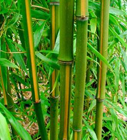 Phyllostachys-bambusoides.jpg